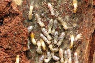 Tree Termites